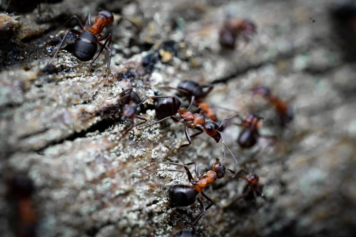 Muurahaisia Tvärminnen eläintieteellisen aseman metsikössä