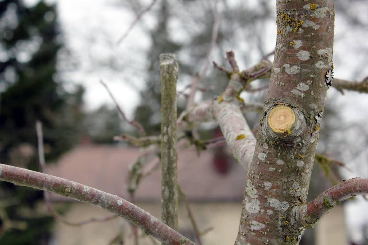 Oksan leikkauskohta omenapuussa.