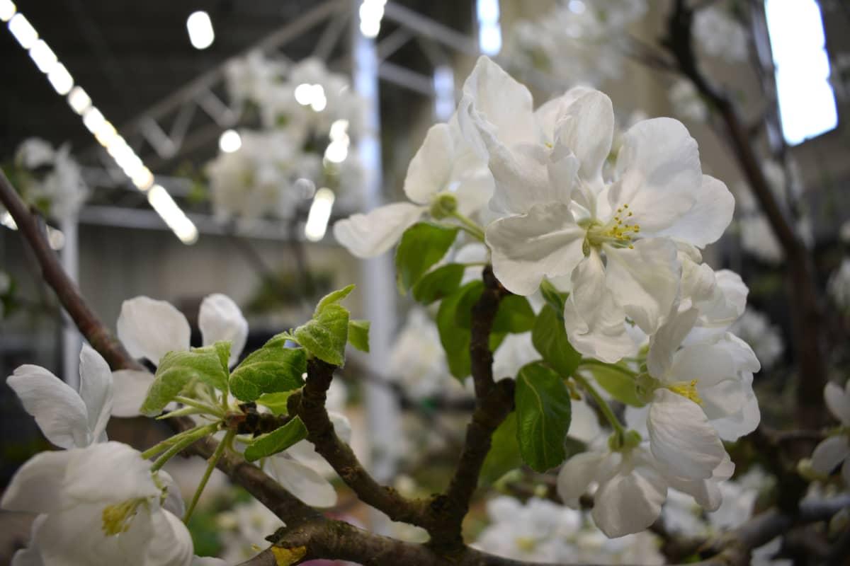 Omenapuu on kukassa pihamessuilla Turussa.