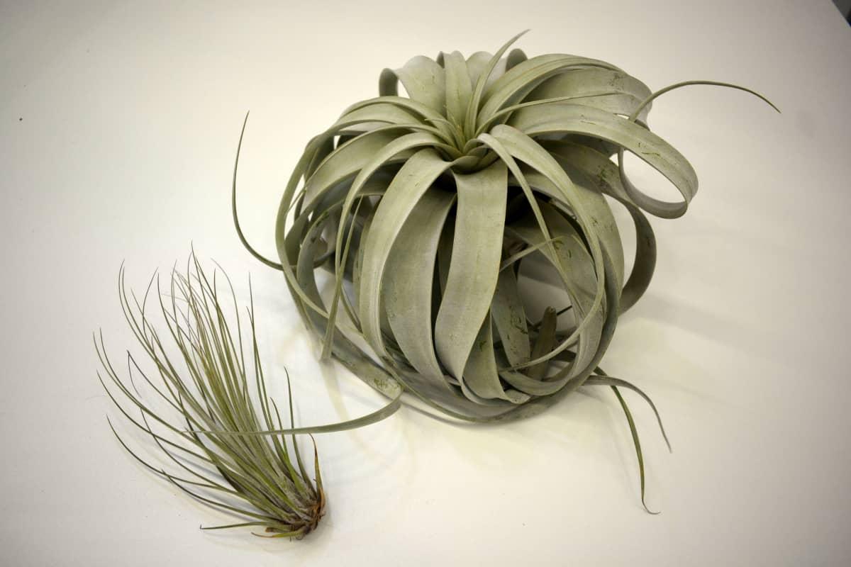 Suuri ilmakasveista on Salvadorintillandsia ja pieni Tillandsia juncea.
