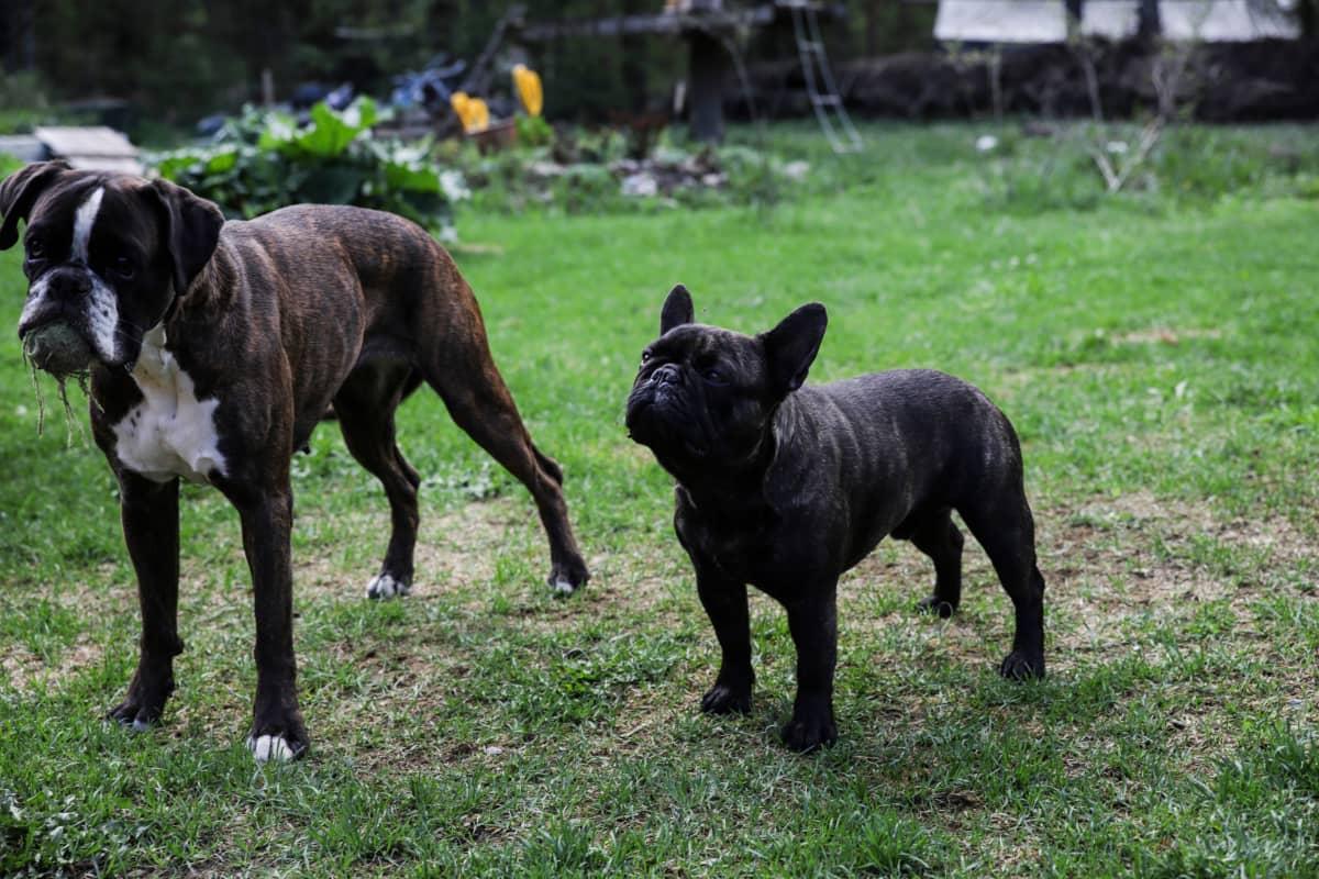 Koiria nurmikolla.