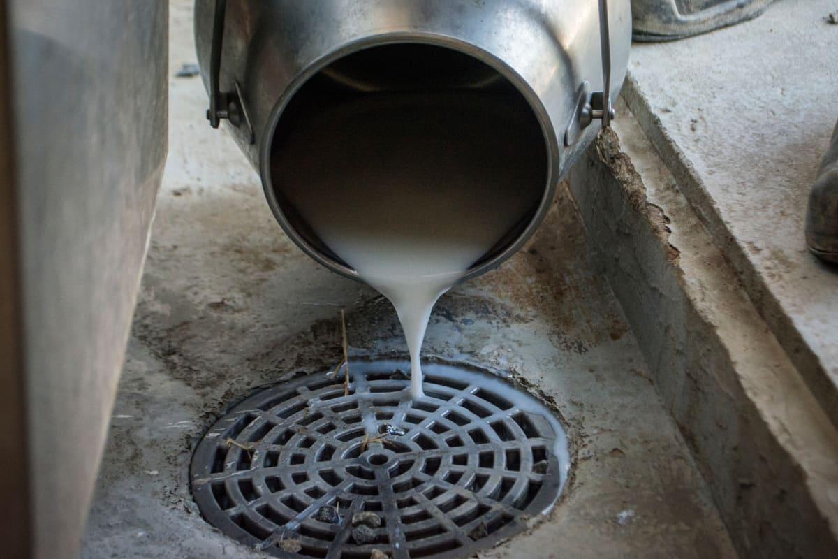 Ylijäämä maitoa kaadetaan navetan viemäriin.