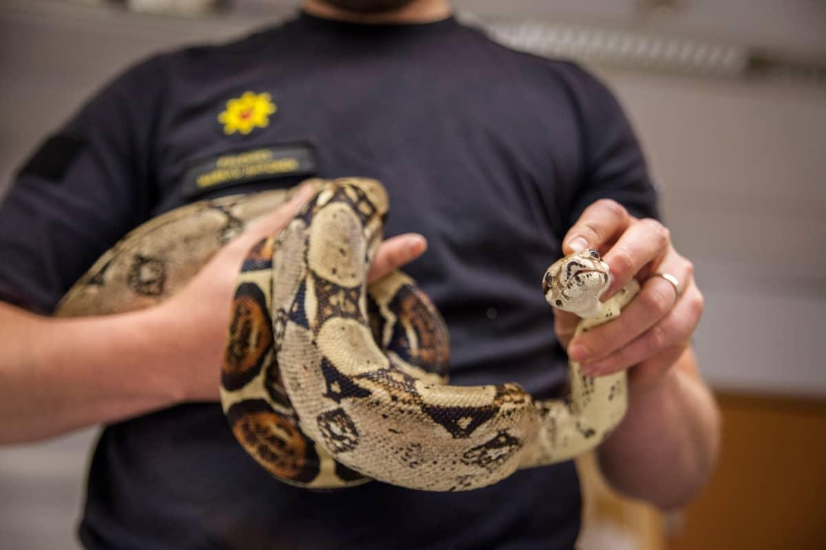 Palomies näyttää Boa -käärmettä kameralle.