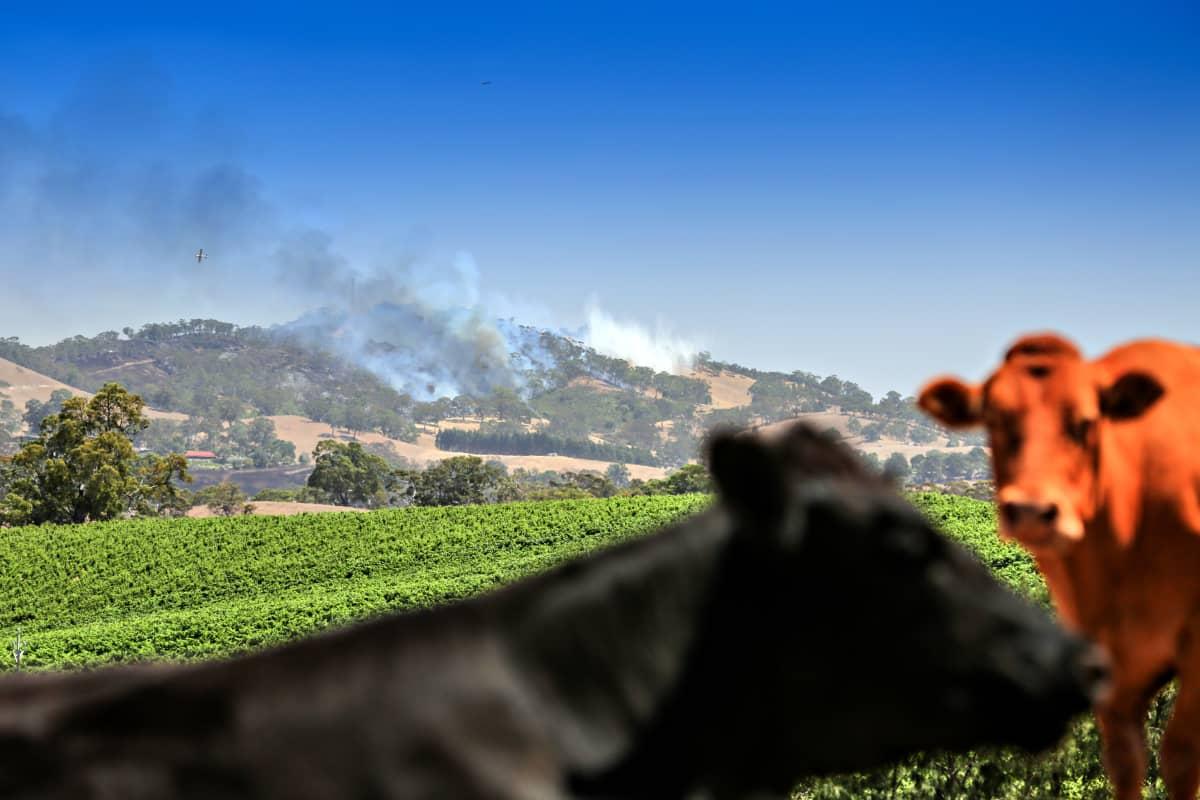 Lehmiä Australian pelloilla lähellä Adelaiden kaupunkia.