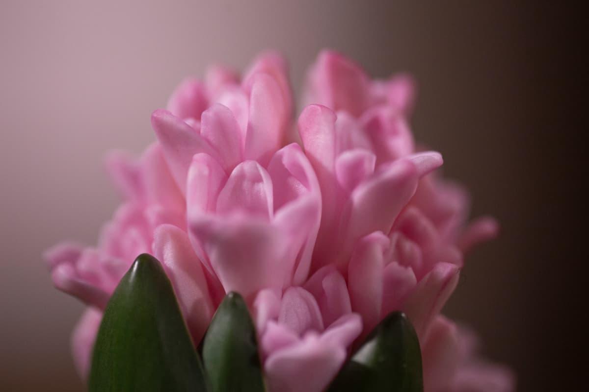 Lähikuva vaaleanpunaisesta hyasintista.