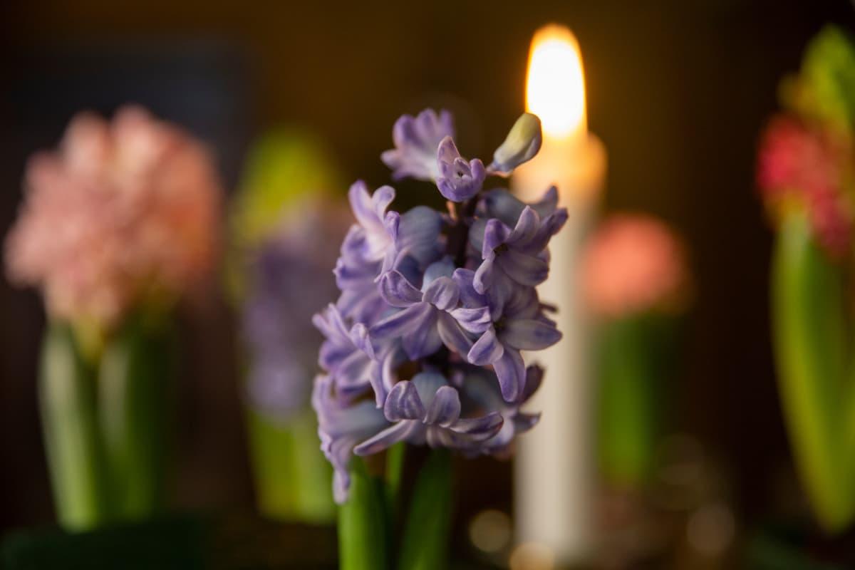 Violetinsininen hyasintti läheltä kuvattuna.