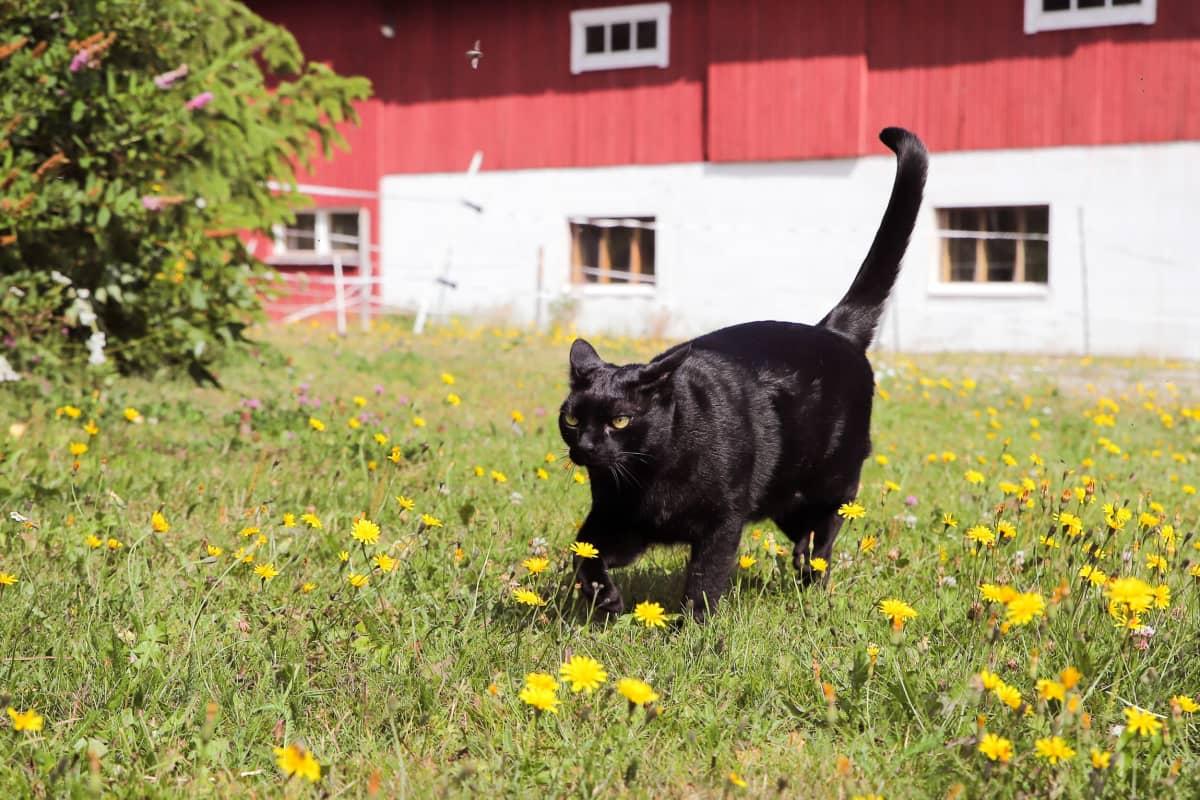 Musta kissa juoksee maatilan pihassa.