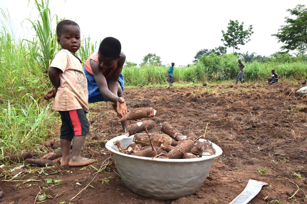 tyttö kerää pellon reunalla kassavan juuria vatiin