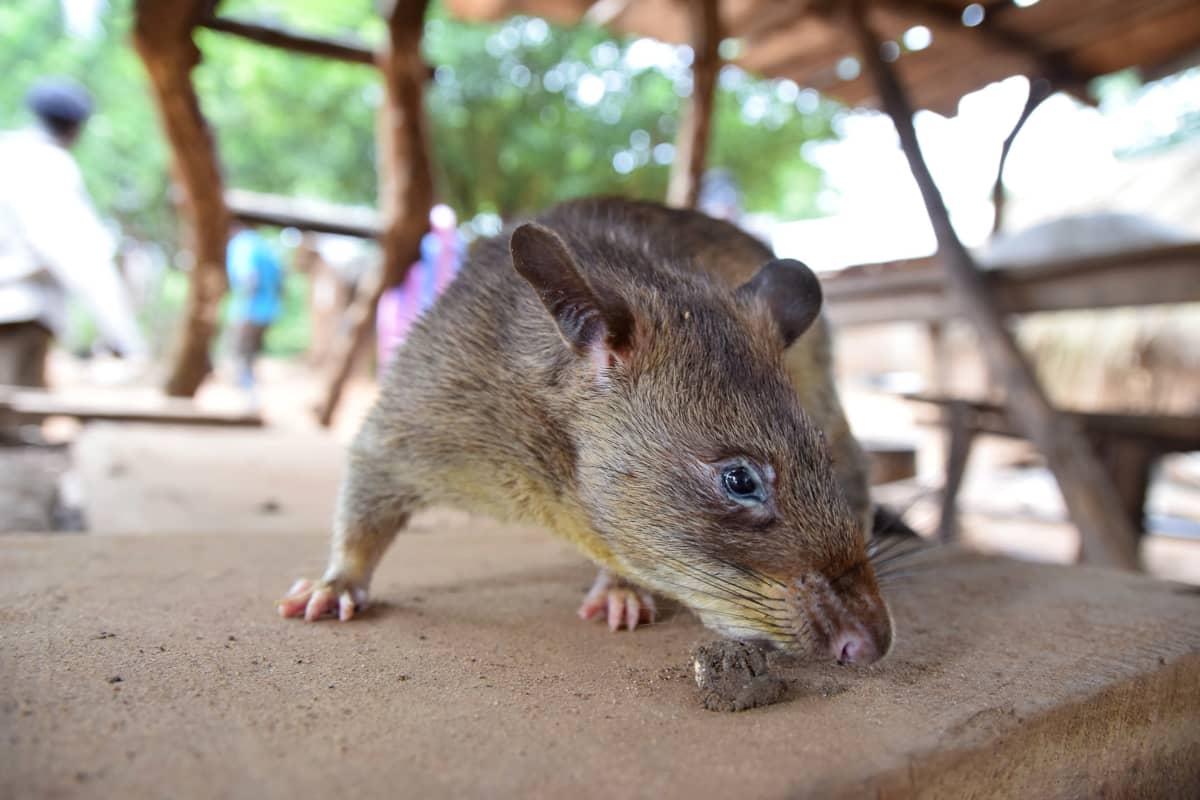 Ruoaksi kasvatettava rottaeläin