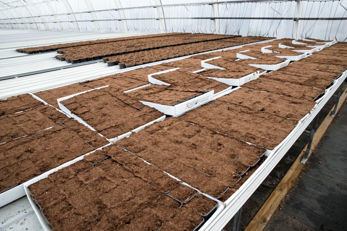 Kasvuturvetta ruukkulaatikoissa kasvihuoneella.