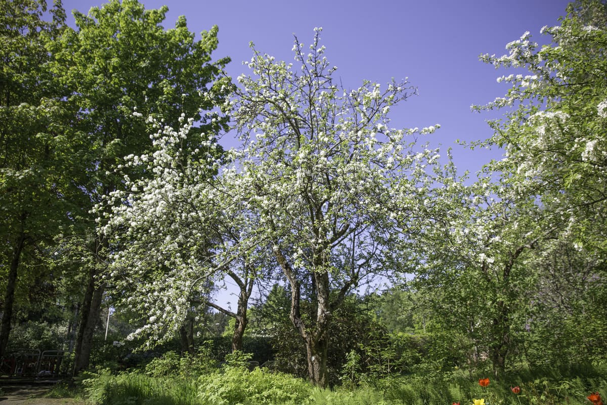 Omenapuu on saanut juhla-asun Helsingin Kumpulassa.
