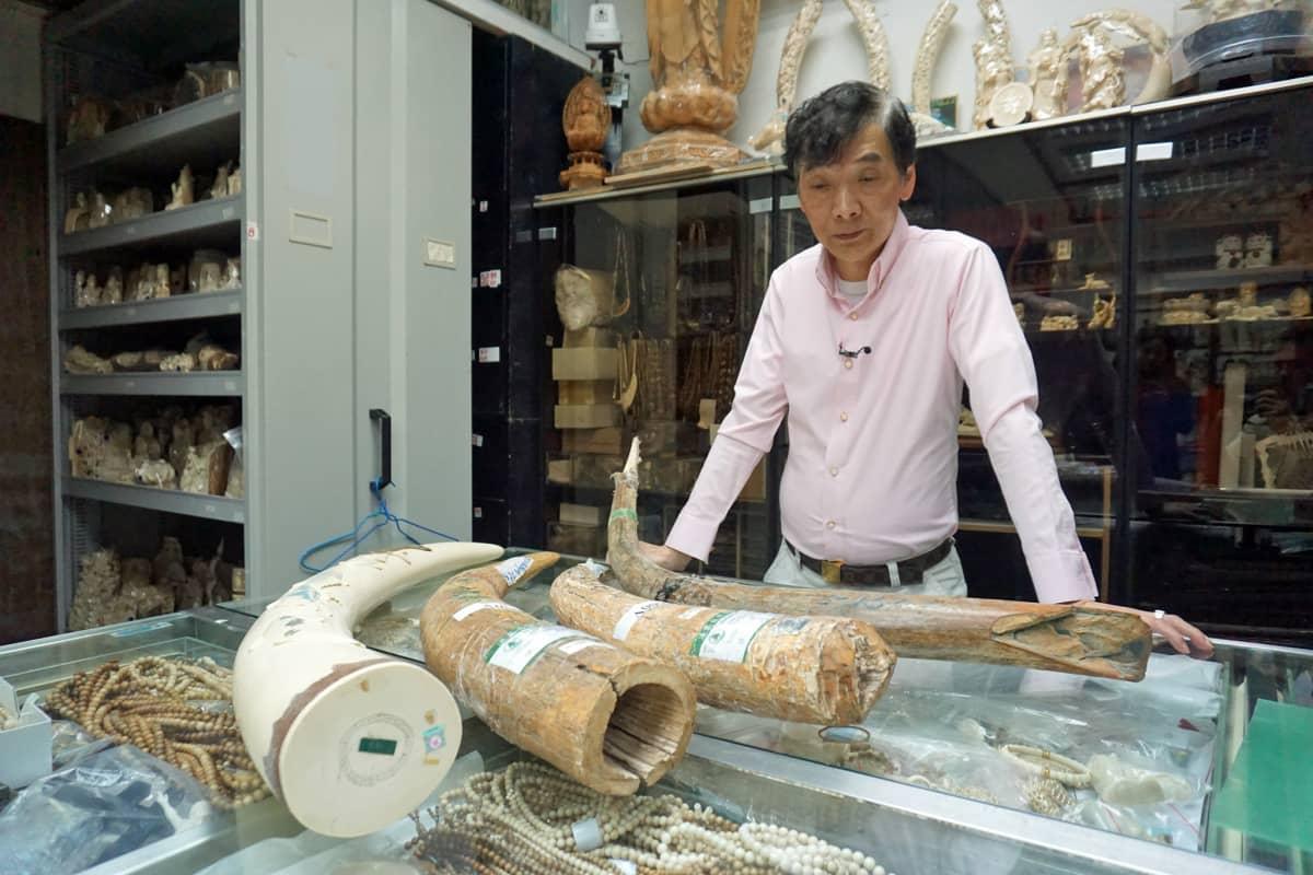 Lähimpänä Daniel Chania on mammutin syöksyhammas, mutta kolme vasemmanpuoleista ovat norsun syöksyhampaita.