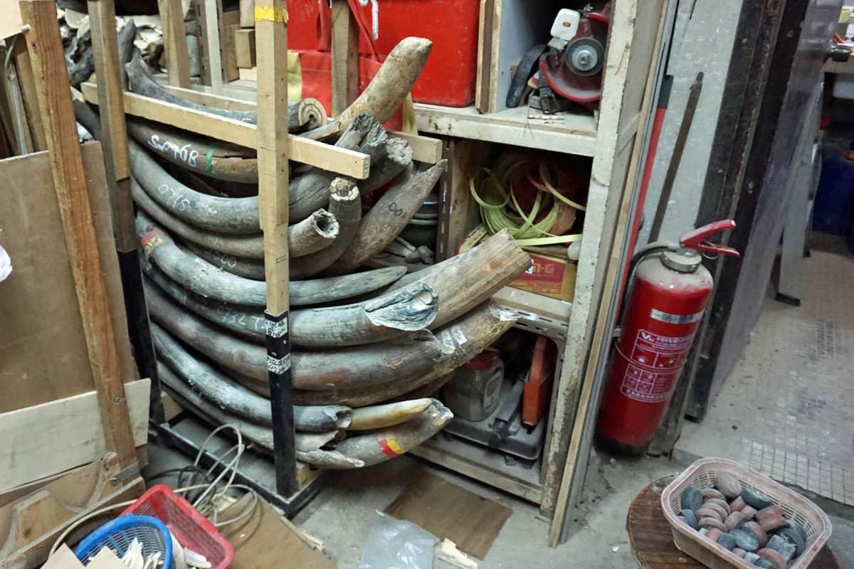 Nykyisin Daniel Chan hankkii vain mammutin syöksyhampaita, joita saadaan lähinnä Venäjältä