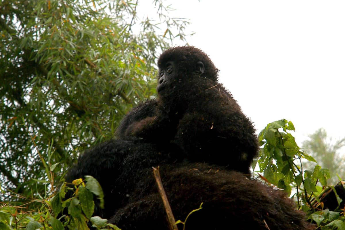 Gorillaäiti kuusi kuukautta vanhan jälkeläisensä kanssa kansallispuistossa Ruandassa. Kansallispuisto nousi kuuluisuuteen Dian Fosseyn kirjan ja siitä tehdyn elokuvan Sumuisten vuorten gorillat johdosta.