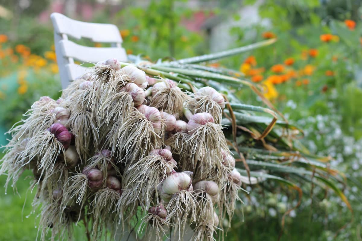 Tuoreita valkosipuleita pellon reunalla