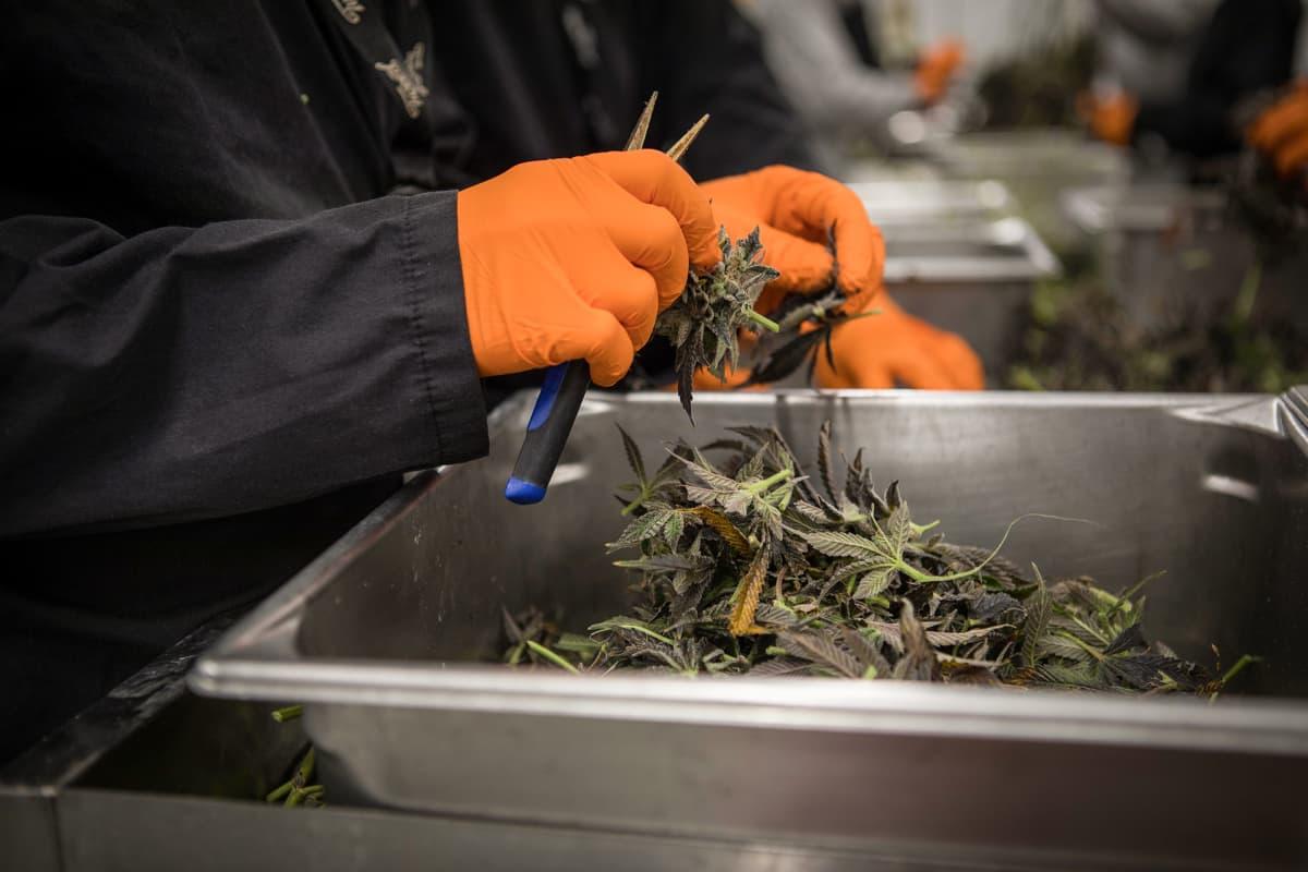 Smiths Falls, Ontario, Canada. July 23, 2019. Canopy Growth Corporation kasvattaa kannabista ja tekee kannabistuotteita Tweed-brandille. Tehdas on entinen Hersheys-suklaatehdas, joka lopetti toimintansa vuosia sitten.