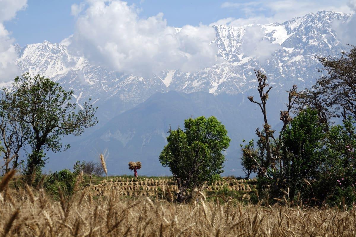Intialainen maanviljelijä kantaa vehnänippua vuoristomaisemassa.
