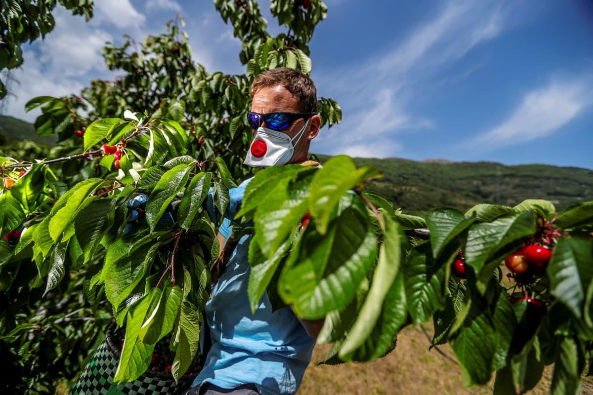 Maanviljelijä kerää kirsikoita  Espanjassa.