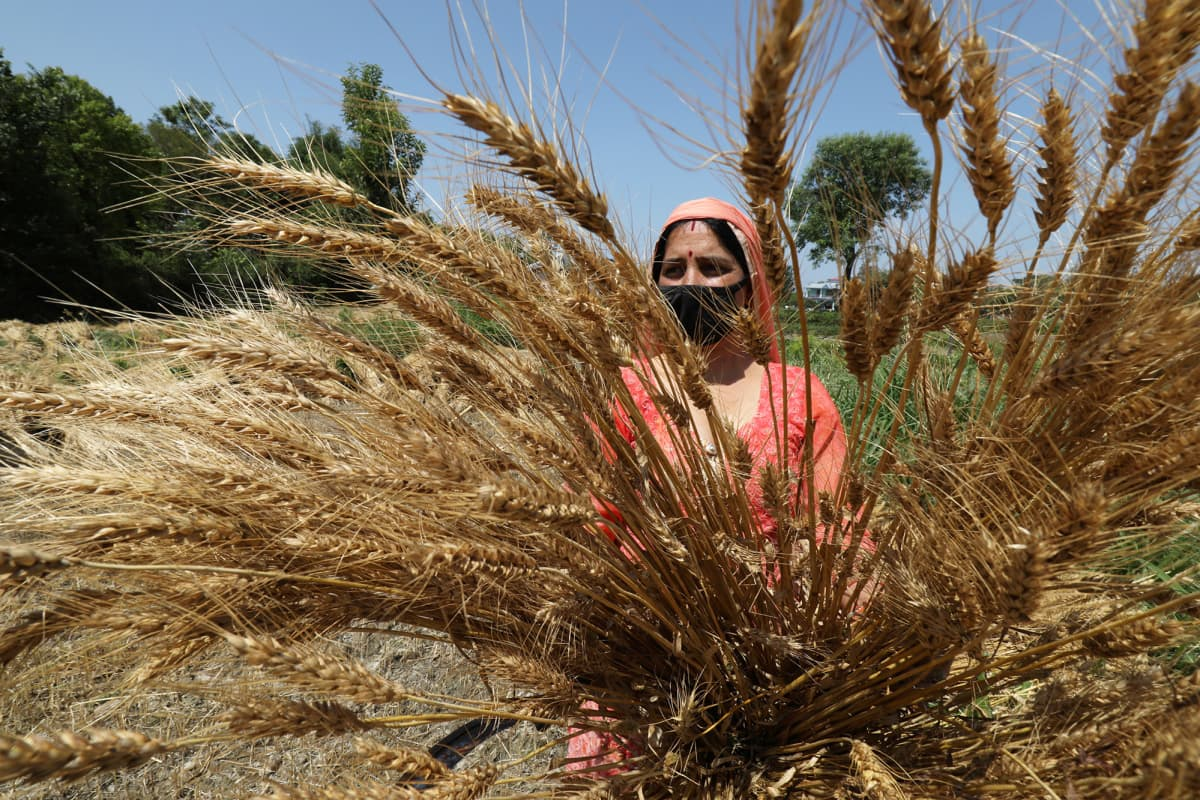 Maanviljelijä kerää vehnää Intiassa.