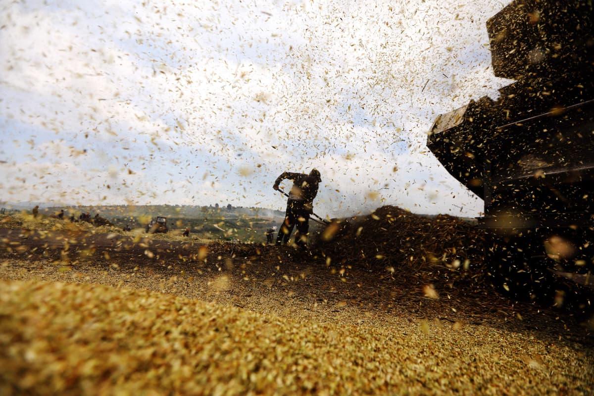 Palestiinalainen maanviljelijä työskentelee pellolla.