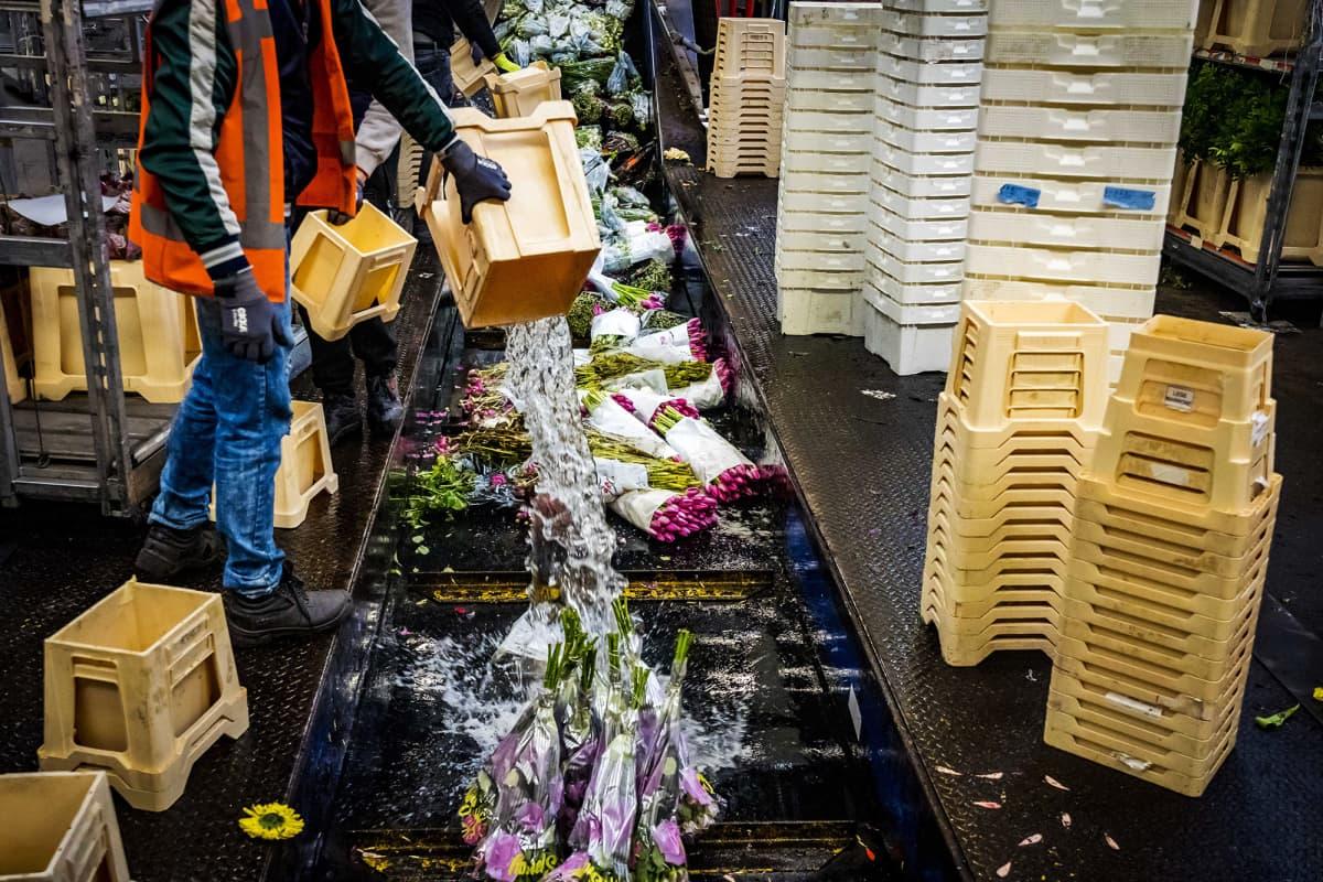 Kuvassa tuhotaan leikkokukkia Hollannissa.
