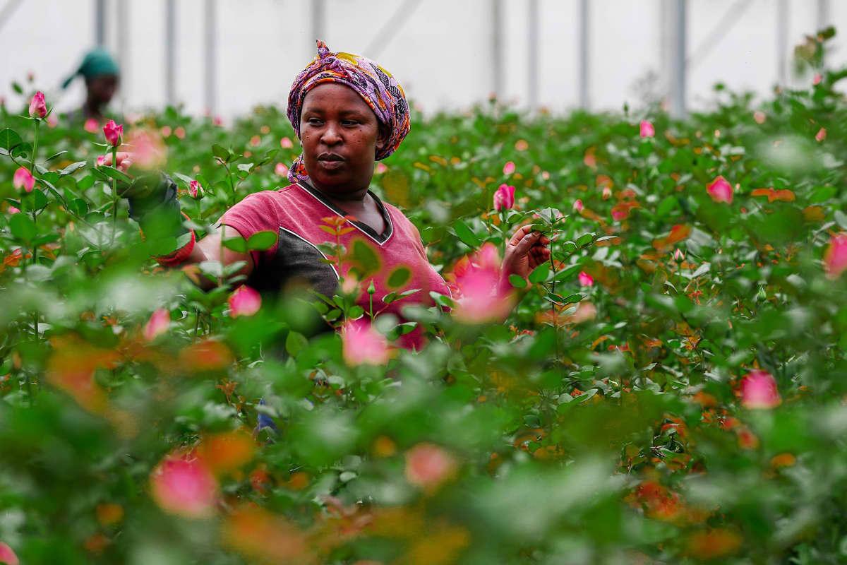 Kuvassa on kenialainen työläinen kasvihuoneessa ruusujen keskellä.