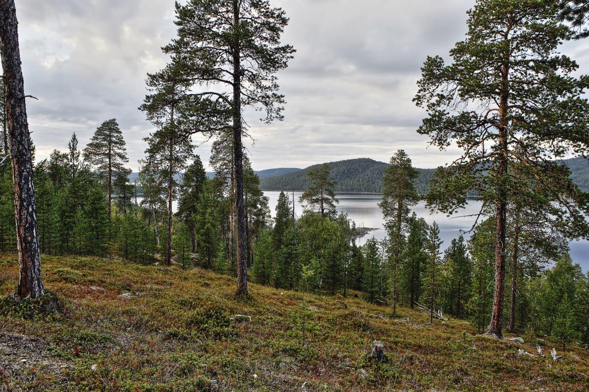 Metsää Inarijärvellä.