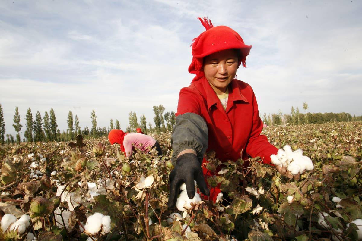 Maanviljelijä kerää puuvillaa Xinjiangissa Kiinassa.