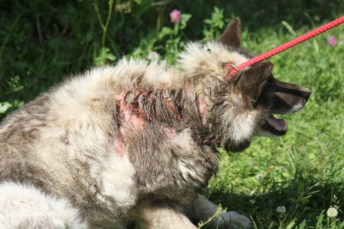 Koira, jonka iho on pahasti rikki ja tulehtunut kaulasta lapoihin asti.
