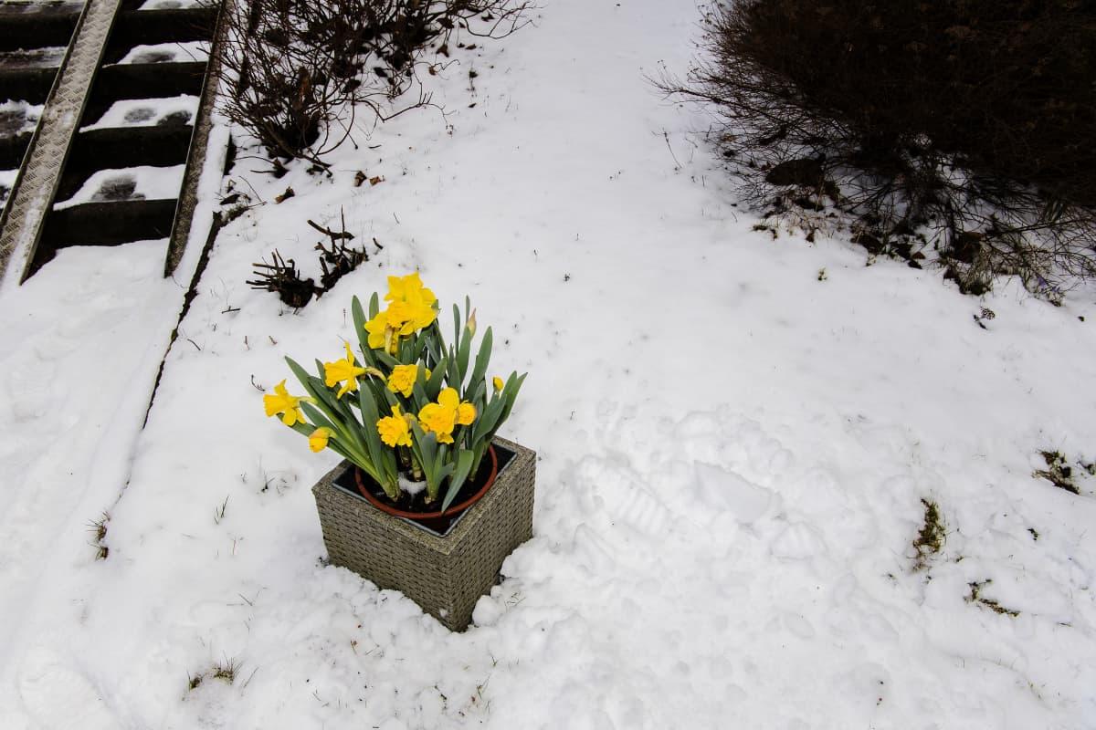 Kuvassa on narsisseja lumisella pihalla.