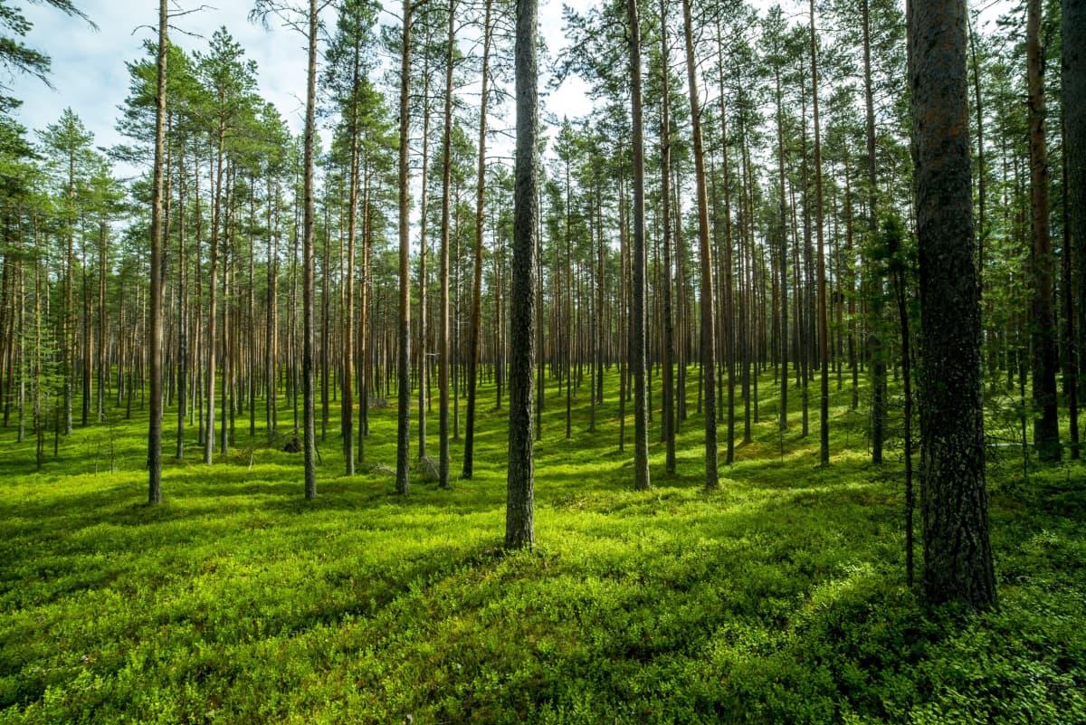 Metsää Ärjänsaaressa Kainuussa.