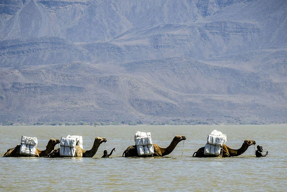 Hyönteisverkkoja kuljettava kamelikaravaani ylittää Gemeri-järveä.