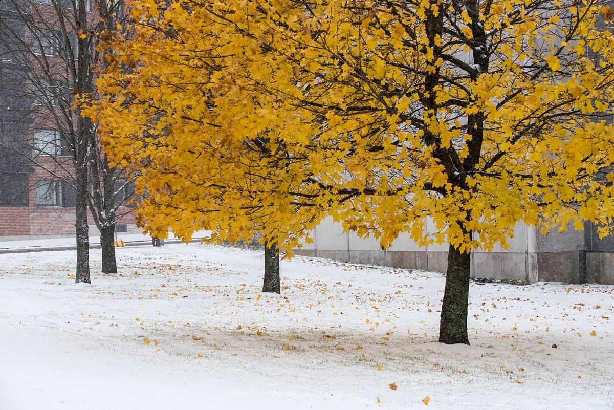 Ensi lumi ruskalehtisen puun juurella.