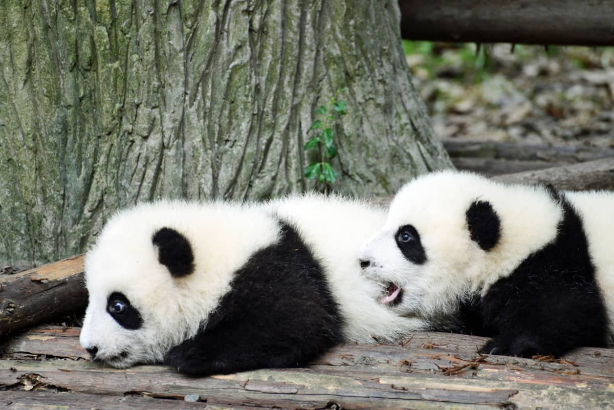 Pandatarhan pennut opettelevat ryömimään.