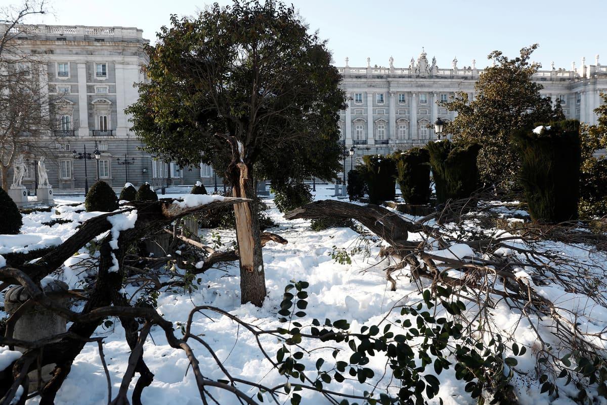 Lumimyrskyssä kaatuneita puita kuninkaallisen palatsin edessä Madridissa.
