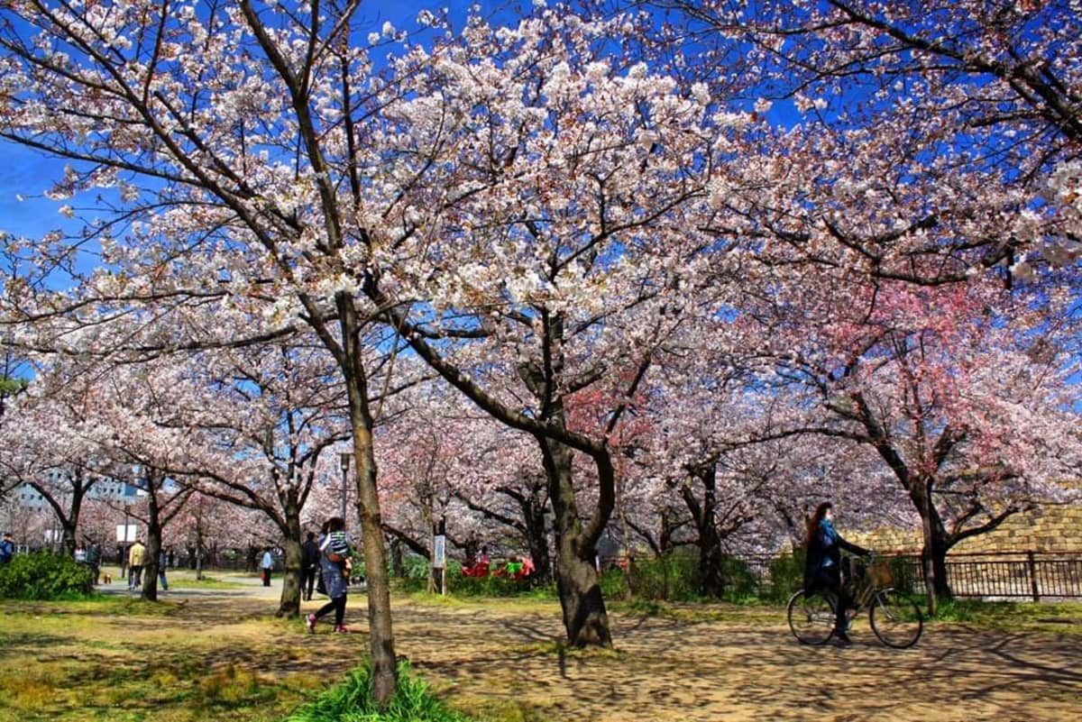 Kirsikkapuita kukkii Japanissa