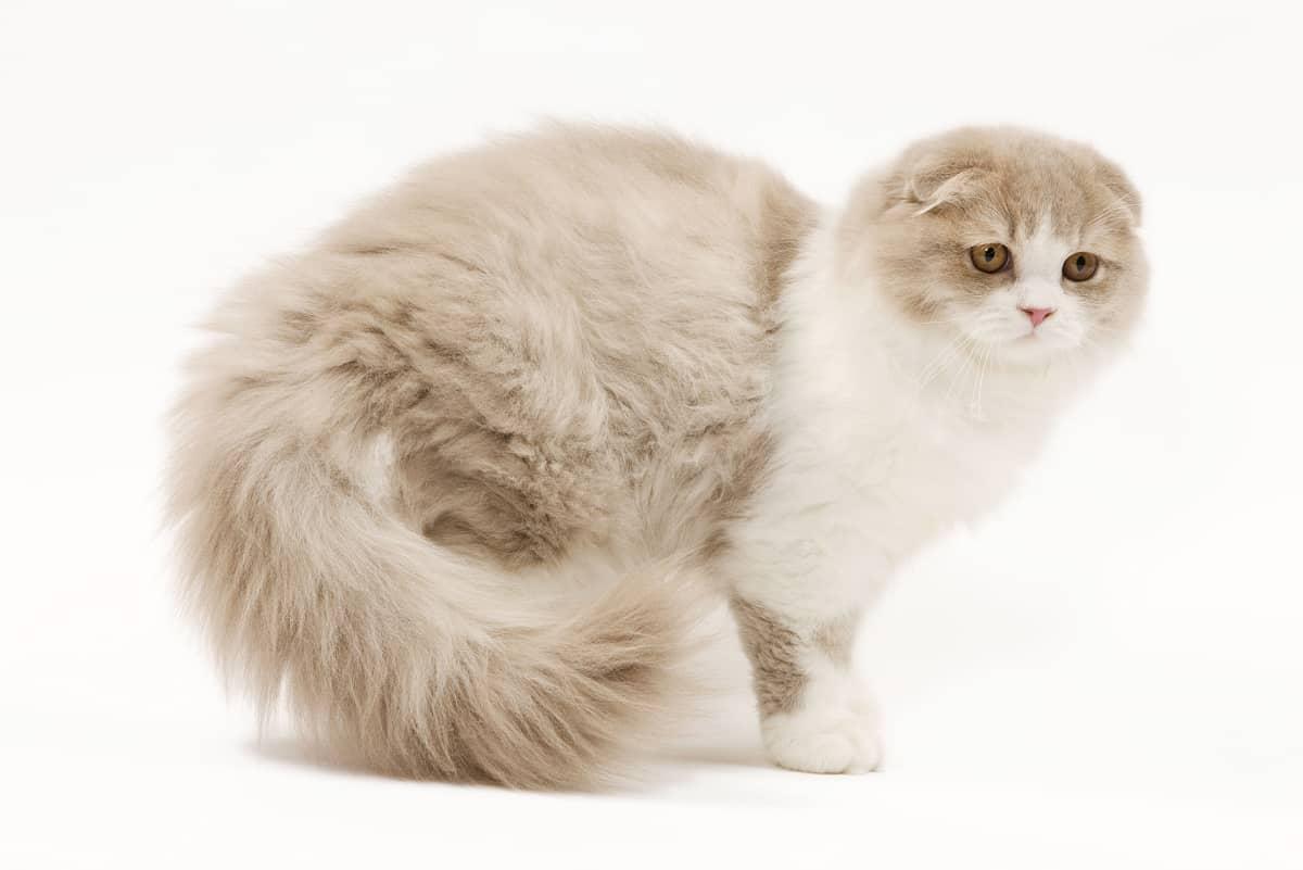 Scottish Fold -rotuinen kissa