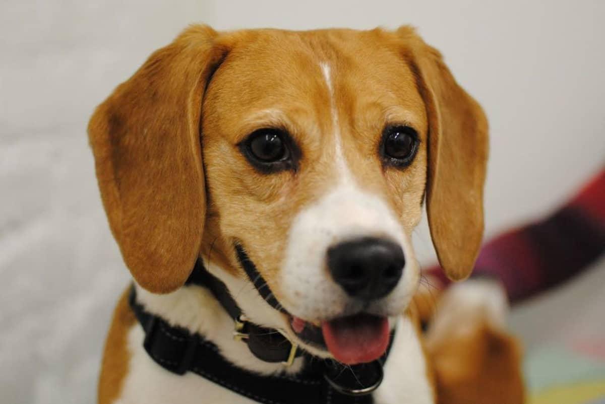 Koe-eläinkoirana toiminut beagle.