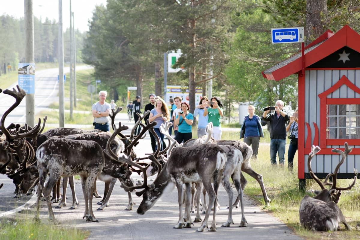 Poroja ja turisteja Vuotson kylällä.