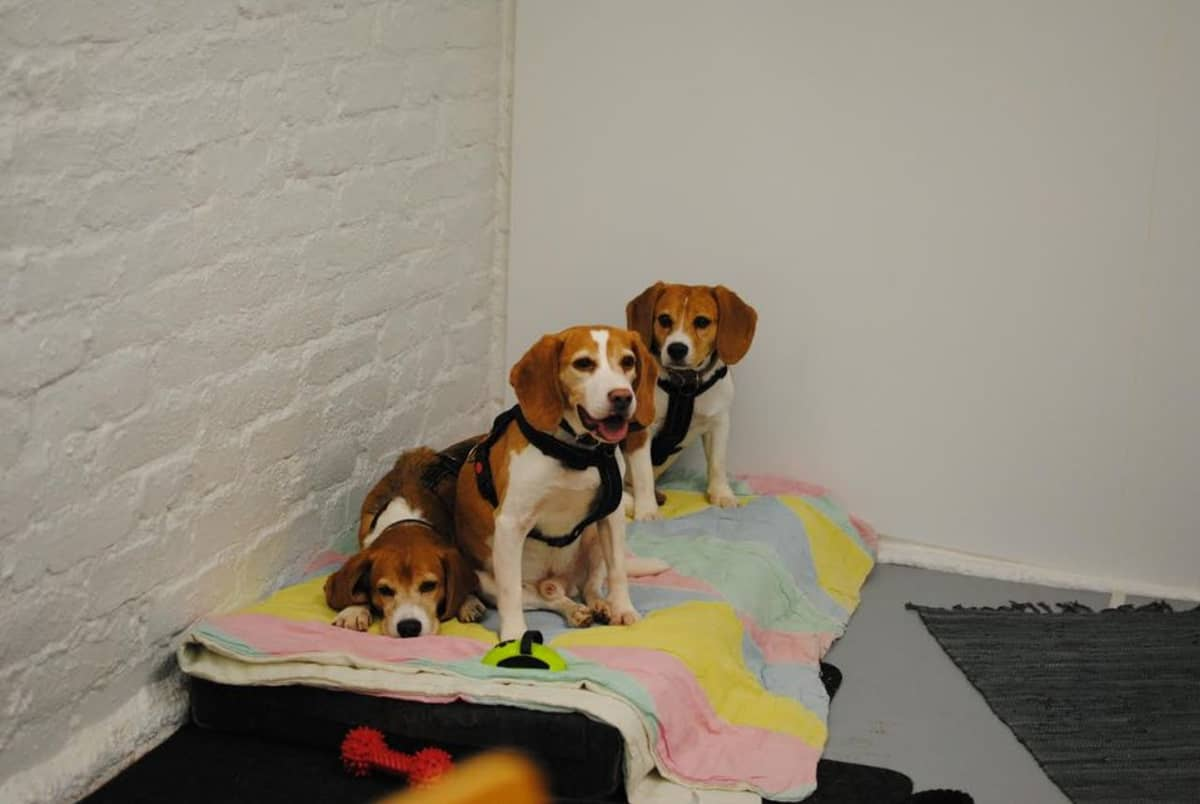 Kolme beaglea istuu patjalla.