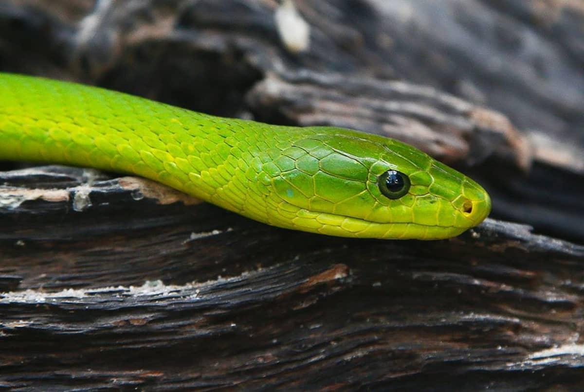 Vihreä mamba on puissa elävä tappavan myrkyllinen käärme.