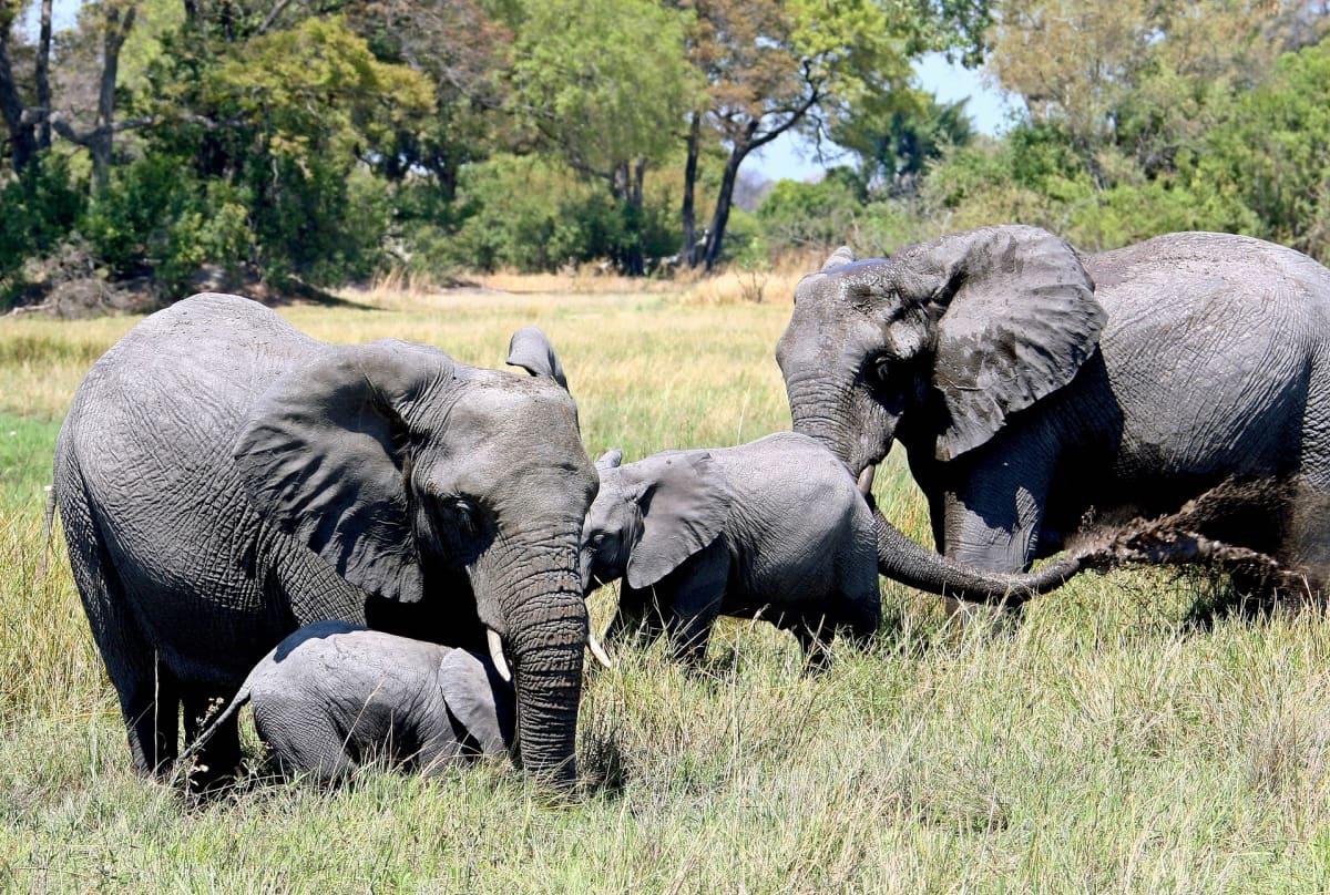 Kaksi aikuista norsua ja kaksi norsunpoikasta.