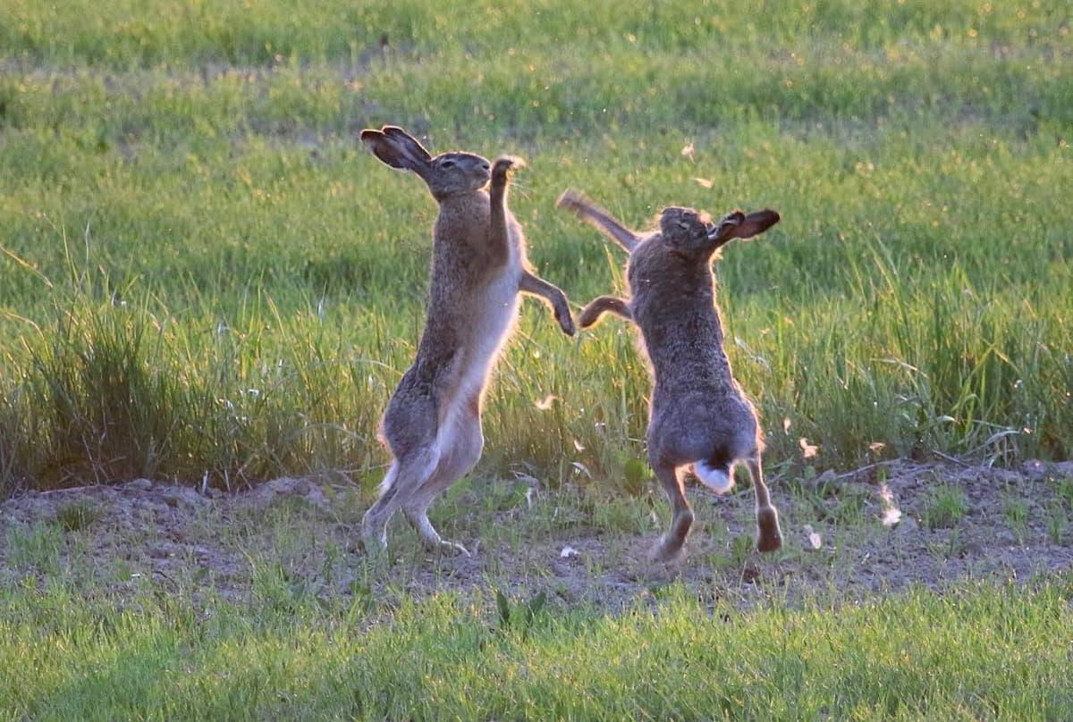 kaksi jänistä tappelee