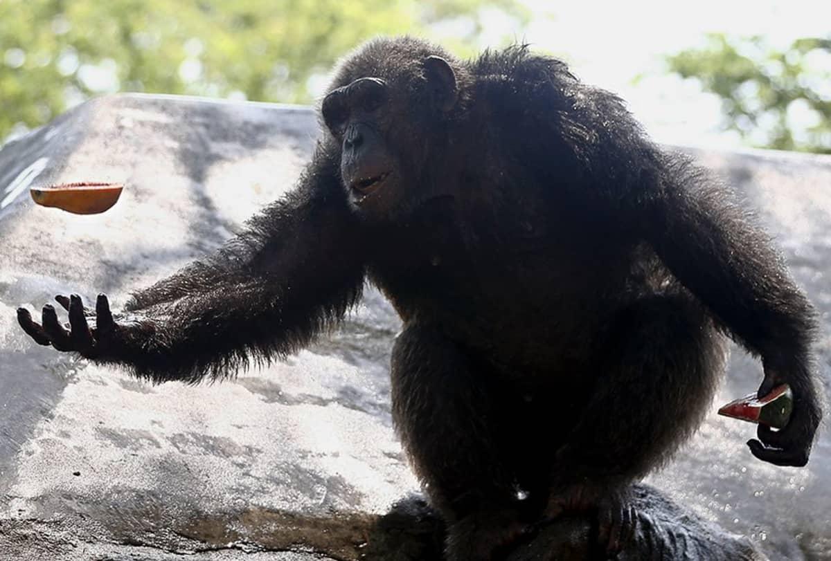 Simpanssi heittelee hedelmää.