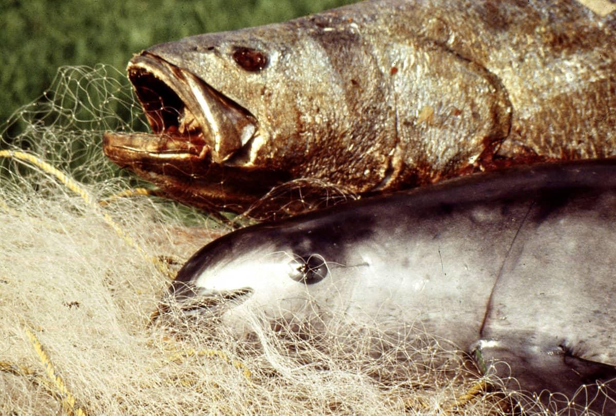 Kuvassa kalaa nimeltä isoveltto (Totoaba macdonaldi)  ja kalaverkkoon kuollut kalifornianpyöriäinen (Phocoena sinus).