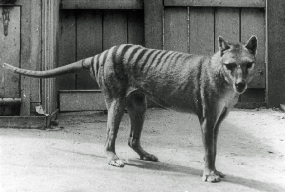 Mustavalkoinen kuva eläintarhan aitauksessa seisovasta koiramaisesta eläimestä, jolla on raidallinen takapää ja selkä.