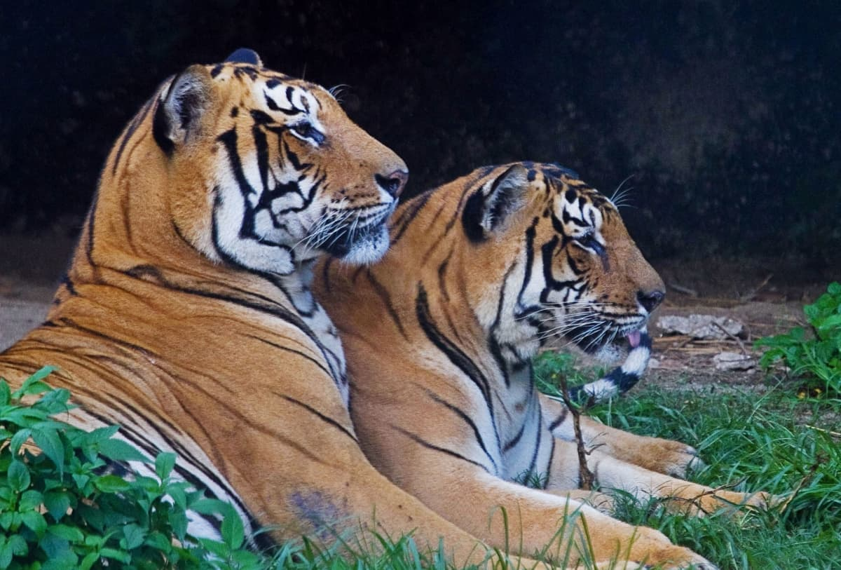 Kaksi Bengalin tiikeriä Kathmandun eläintarhassa Nepalissa.