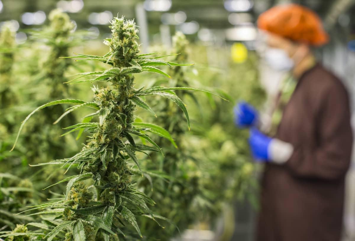 Kannabisviljelmiä Kanadan Markhamissa