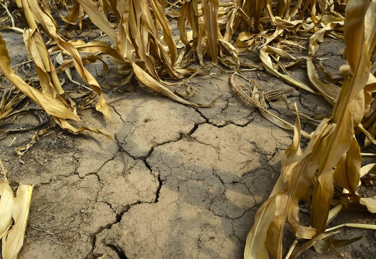 Halkeillutta maata pystyyn kuivuneen maissin keskellä.