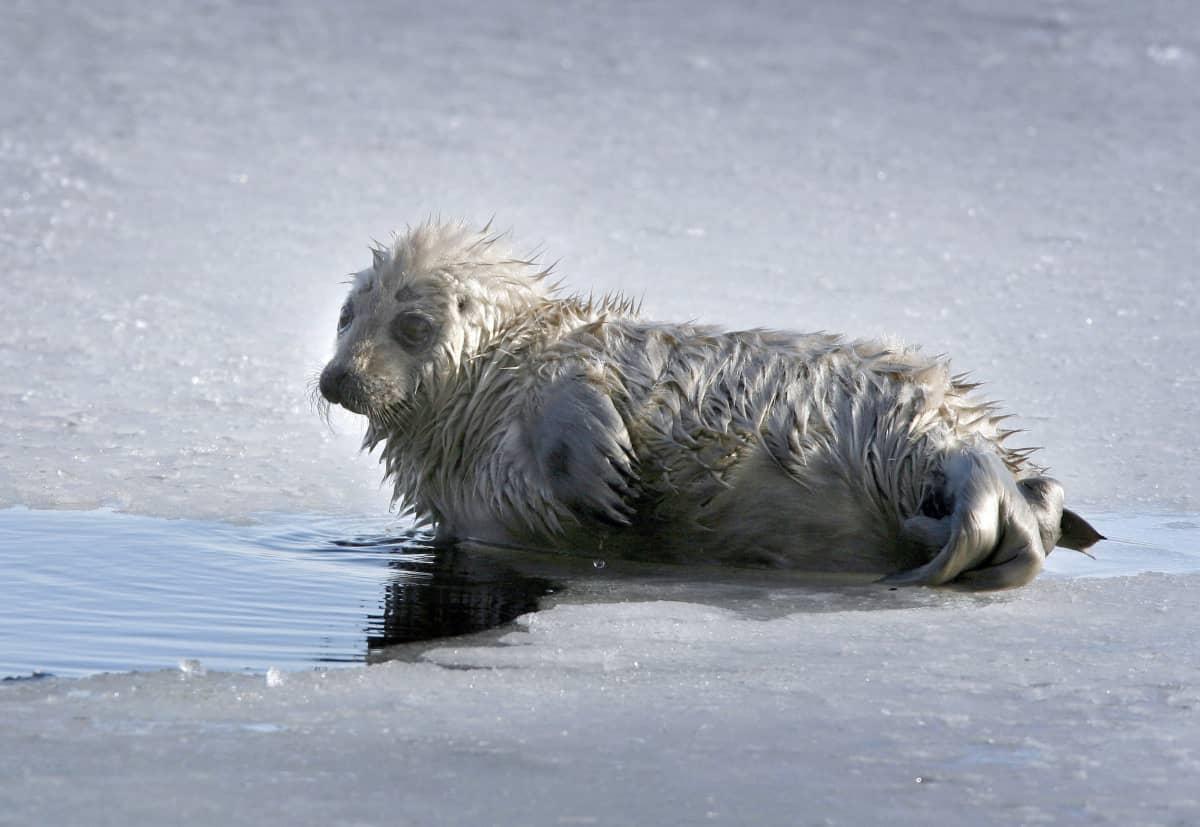 Saimenvikar kut på is.